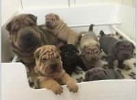 Chinese Shar Pei Puppies for sale in Springfield, IL, USA. price: NA