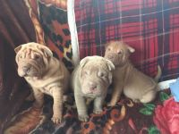 Chinese Shar Pei Puppies for sale in Canoga Park, Los Angeles, CA, USA. price: NA
