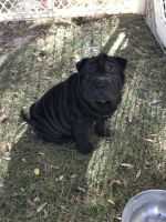 Chinese Shar Pei Puppies for sale in Templeton, CA, USA. price: NA