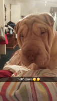 Chinese Shar Pei Puppies for sale in Gaffney, SC, USA. price: NA