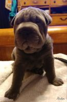 Chinese Shar Pei Puppies for sale in Fancy Gap, VA 24328, USA. price: NA
