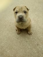 Chinese Shar Pei Puppies for sale in Greenville, TX, USA. price: NA