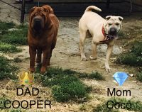 Chinese Shar Pei Puppies for sale in Berea, OH 44017, USA. price: NA