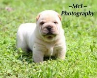 Chinese Shar Pei Puppies Photos
