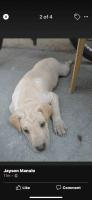 Chinese Shar Pei Puppies Photos
