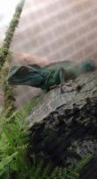 Chinese Water Dragon Reptiles for sale in North Wilkesboro, NC 28659, USA. price: NA
