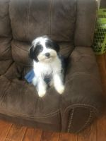 Chipoo Puppies for sale in Humble, TX, USA. price: NA