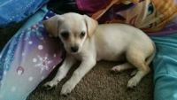 Chipoo Puppies for sale in Riverside, CA, USA. price: NA