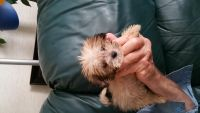 Chipoo Puppies for sale in Houston, TX, USA. price: NA
