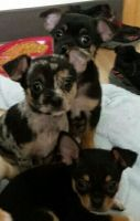 Chipoo Puppies for sale in Vancouver, WA, USA. price: NA