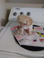 Chipoo Puppies for sale in Bedford Rd, Bedford, TX, USA. price: NA