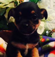 Chipoo Puppies for sale in Chillicothe, OH 45601, USA. price: NA