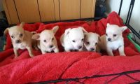 Chipoo Puppies for sale in FL-436, Casselberry, FL, USA. price: NA