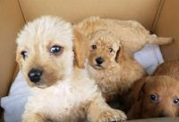 Chipoo Puppies for sale in Chesapeake, VA 23320, USA. price: NA