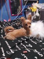 Chipoo Puppies for sale in Phoenix, AZ 85008, USA. price: NA