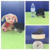 Chipoo Puppies for sale in Edgewood, TX 75117, USA. price: NA