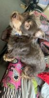 Chipoo Puppies for sale in Martinsburg, WV, USA. price: NA