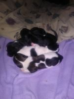Chipoo Puppies Photos