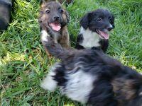 Chipoo Puppies for sale in San Bernardino, CA, USA. price: NA