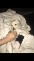 Chipoo Puppies for sale in Houston, TX 77060, USA. price: NA
