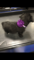 Chipoo Puppies for sale in Philadelphia, PA, USA. price: NA