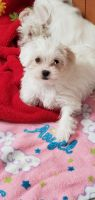 Chipoo Puppies for sale in Portland, IN 47371, USA. price: NA