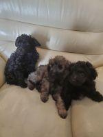 Chipoo Puppies for sale in Ephrata, WA 98823, USA. price: NA