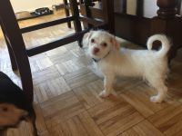 Chipoo Puppies for sale in Schenectady, NY, USA. price: NA