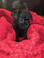 Chipoo Puppies for sale in Knoxville, TN, USA. price: NA