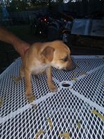 Chipoo Puppies for sale in 7940 Echo Wind St, San Antonio, TX 78250, USA. price: NA