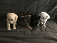 Chipoo Puppies for sale in Long Beach, CA, USA. price: NA