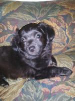 Chipoo Puppies for sale in Modesto, CA, USA. price: NA