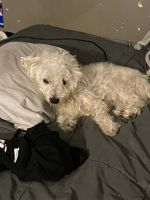 Chipoo Puppies for sale in Ansonia, CT, USA. price: NA