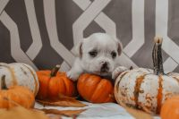 Chipoo Puppies for sale in Berthoud, CO, USA. price: NA