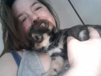 Chipoo Puppies for sale in Valley, WA 99181, USA. price: NA