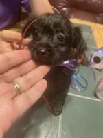 Chipoo Puppies for sale in Holiday, FL, USA. price: NA