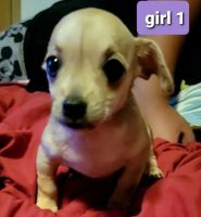 Chiweenie Puppies for sale in Lexington, NC, USA. price: NA