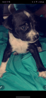 Chiweenie Puppies for sale in Windsor, MO 65360, USA. price: NA