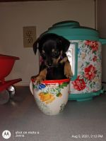 Chiweenie Puppies for sale in Carrollton, VA 23314, USA. price: NA