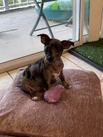 Chiweenie Puppies for sale in Choctaw Beach, FL 32578, USA. price: NA