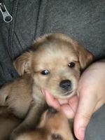 Chiweenie Puppies for sale in Shrewsbury, MA 01545, USA. price: NA