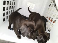 Chiweenie Puppies for sale in American Canyon, CA 94503, USA. price: NA