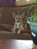 Chiweenie Puppies for sale in BETHEL, WA 98387, USA. price: NA