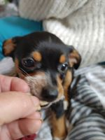 Chiweenie Puppies for sale in Westport, WA 98595, USA. price: NA