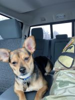 Chiweenie Puppies for sale in St Robert, MO, USA. price: NA