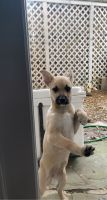 Chiweenie Puppies for sale in Houston, TX 77055, USA. price: NA