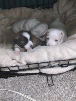 Chiweenie Puppies for sale in Bakersfield, CA, USA. price: NA