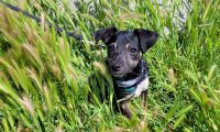 Chiweenie Puppies for sale in Lake Balboa, Los Angeles, CA, USA. price: NA