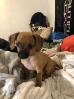 Chiweenie Puppies for sale in Pink, OK 74873, USA. price: NA
