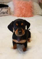Chiweenie Puppies for sale in Sparks, NV, USA. price: NA